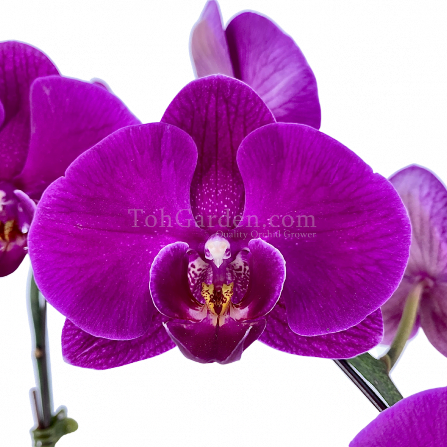 Phalaenopsis Dark Purple