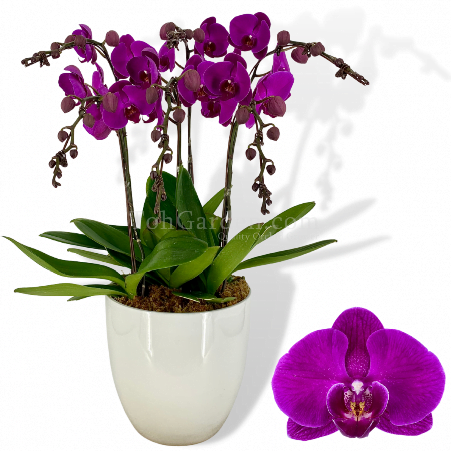 Phalaenopsis Dark Purple Arrangement (5 in 1)