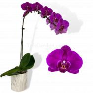 Phalaenopsis Dark Purple in Marble Pot