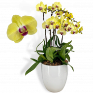 Phalaenopsis Yellow Arrangement (6 in 1)