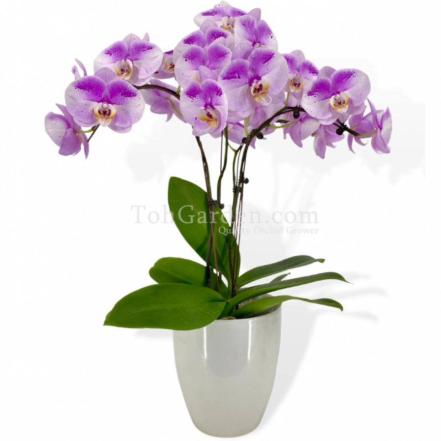 Oriental Beauty Phalaenopsis Arrangement (3 in 1)
