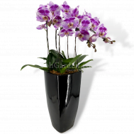 Phaleanopsis Orchid (5in1)