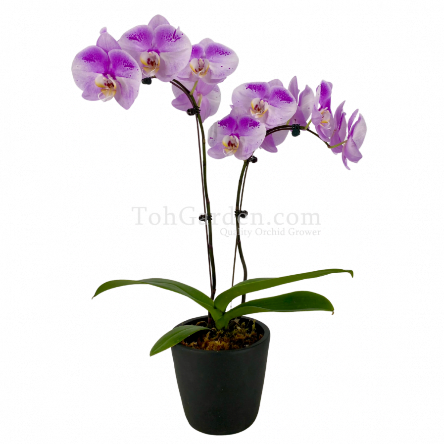 Phaleanopsis Orchid