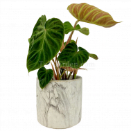 Philodendron Verrucosum Incensi in Marble Pot