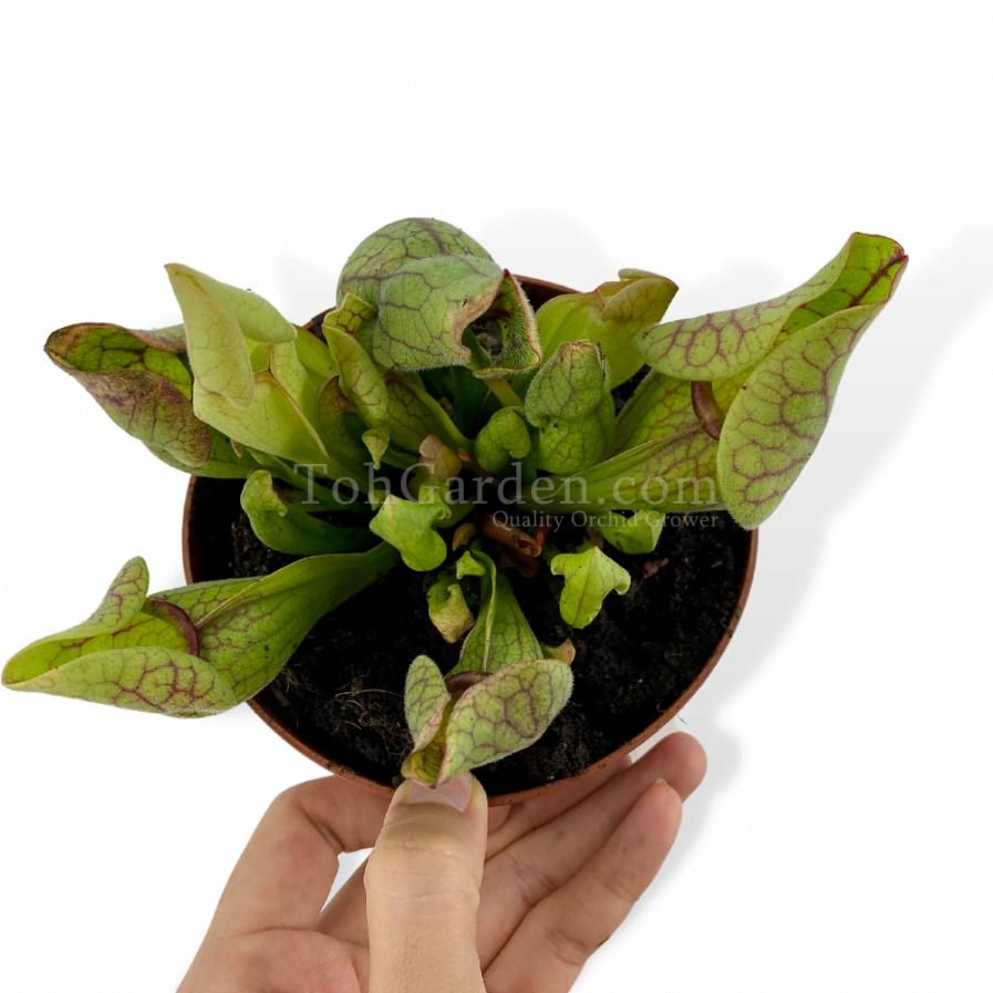 Sarracenia Purpurea Vennosa
