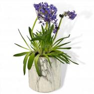 Scilla 'Caribbean Jewel' in Marble Pot