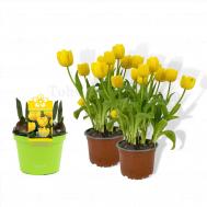 Tulip Yellow