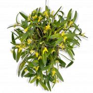 Yellow Dendrobium pachyphyllum (Fragrance)