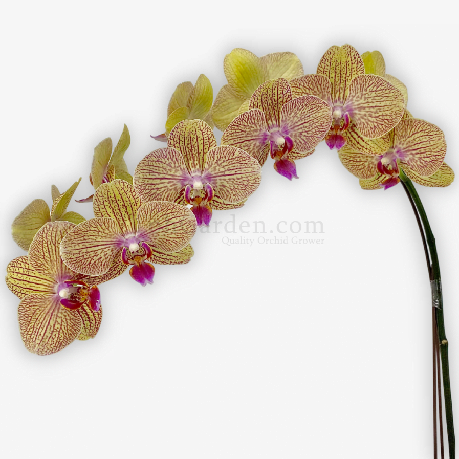 Yellow Streak Phalaenopsis