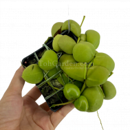 Dischidia platyphylla x Vidalii