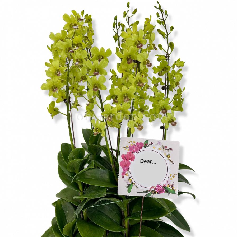 (5 in 1) Dendrobium Burana Jade (1997) Arrangement