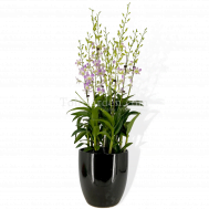 5 in1 Dendrobium Lucian Pink Arrangement