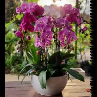 Bicolour Pink Phalaenopsis Arrangement (8-in-1)