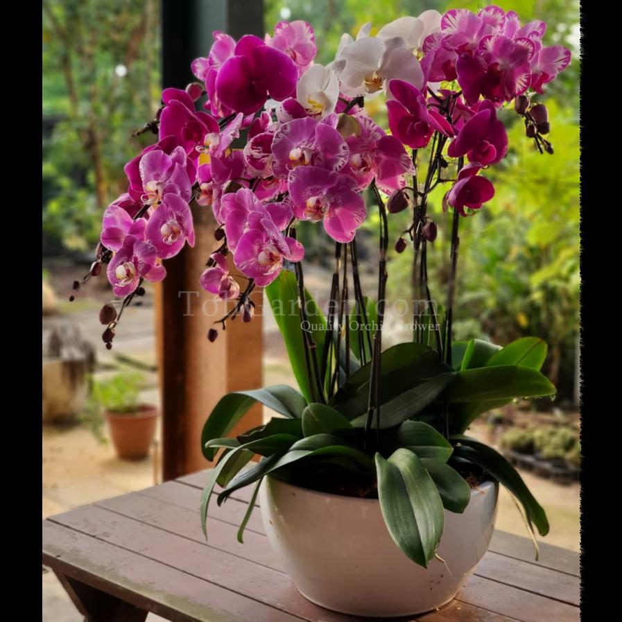 Multicolor Phalaenopsis Arrangement (8-in-1)