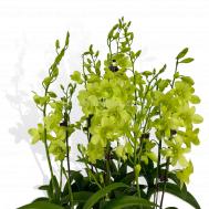5 in 1 Dendrobium Aridang Green Arrangement