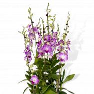 5 in 1 Dendrobium Toh Glory Arrangement