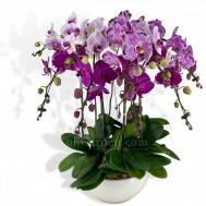 Multicolor Phalaenopsis (Dark Mix)
