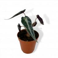 Alocasia Bambino Arrow (Baby)