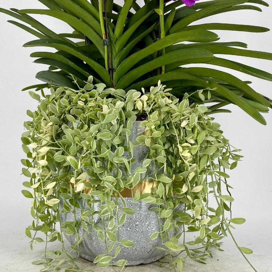 Vanda Papilionanda Mix (5 in 1) with Dischidia in Modern Ceramic