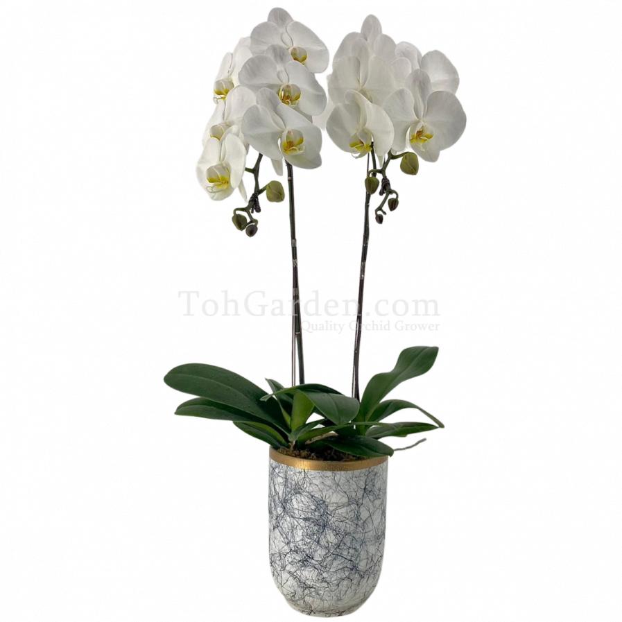(2 in 1) Phalaenopsis Sogo Yukidien in Ceramic Modern Marble Pot