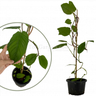 Philodendron Ernestii