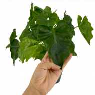 Philodendron Shangrila