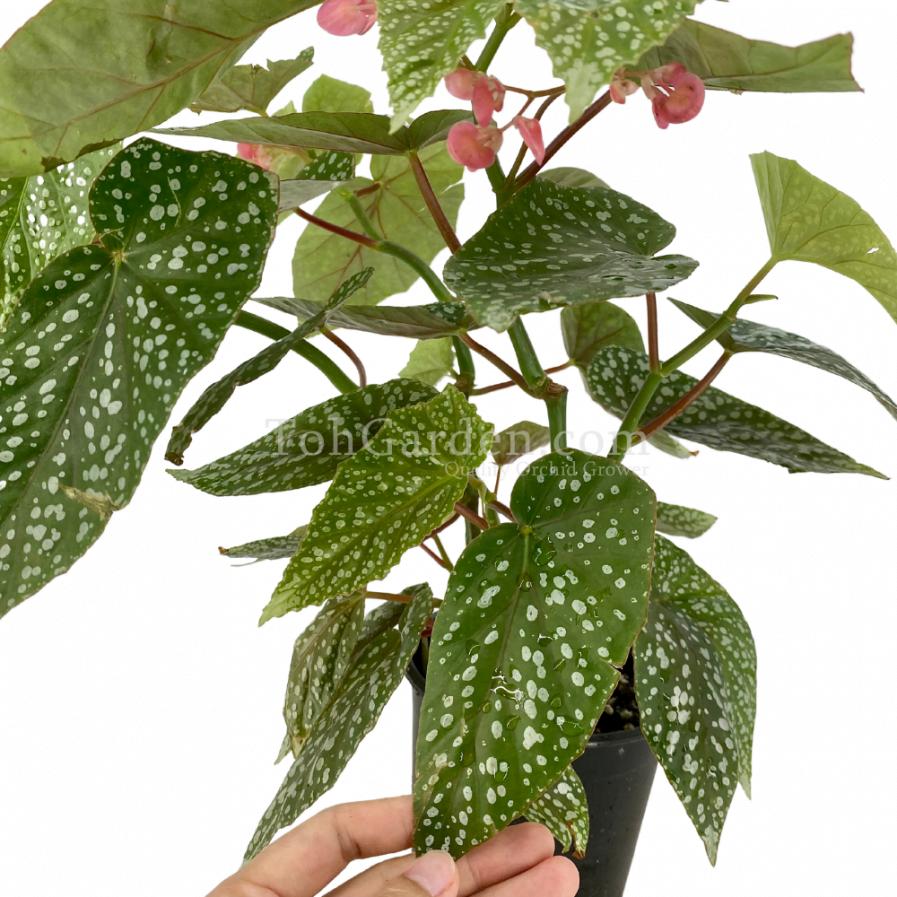 Begonia 'Snow Capped' (40cm)