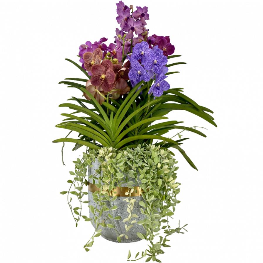 Vanda & Papilionanda Mix (5 in 1) with Dischidia in Modern Ceramic