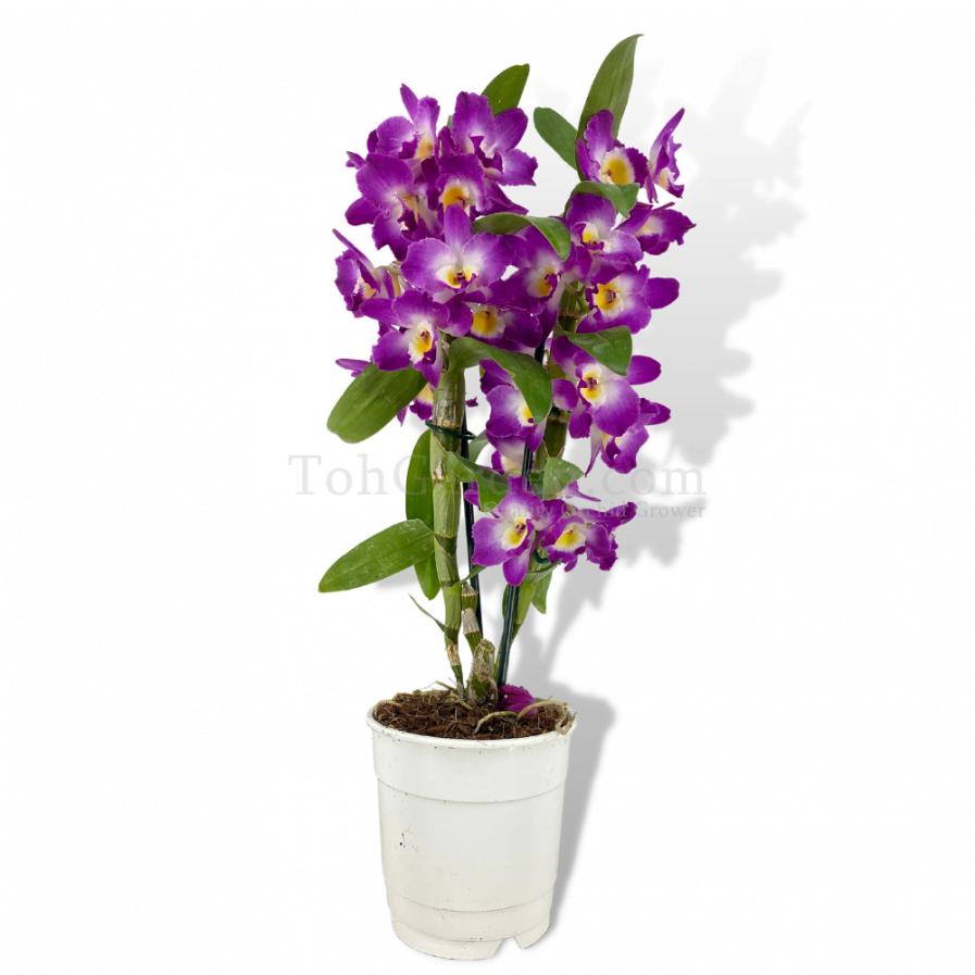 Dendrobium Nobile Purple