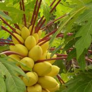 Golden Papaya Tree