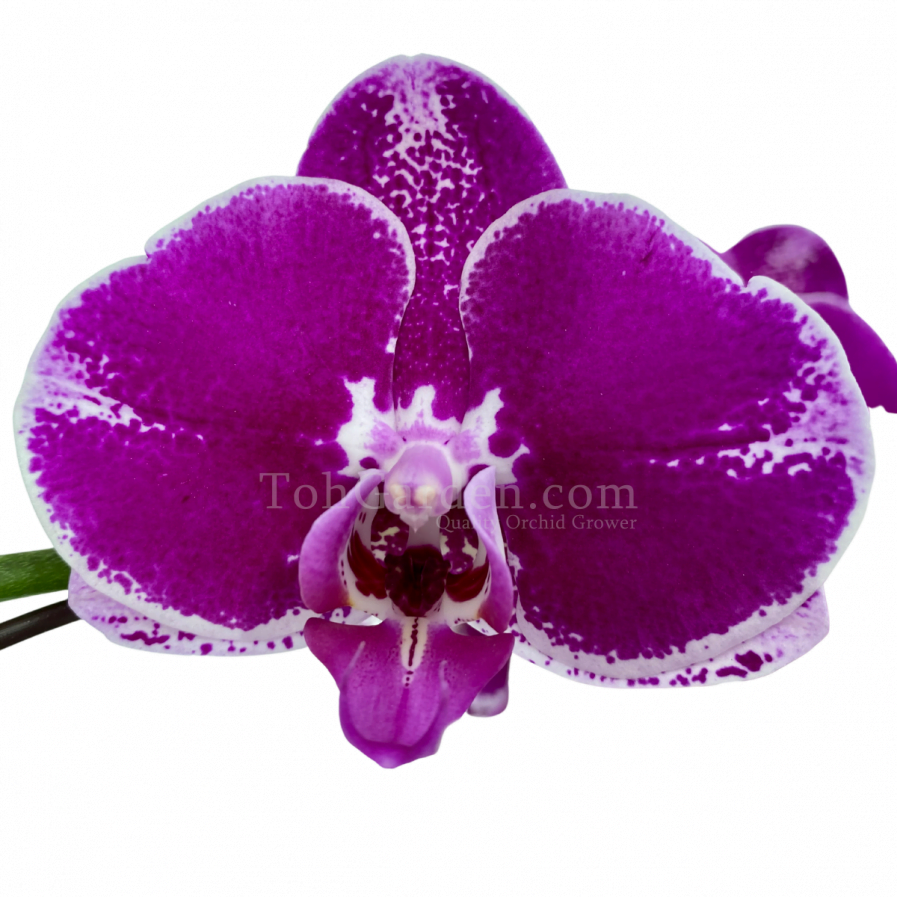 Multicolor Phalaenopsis (8-in-1)