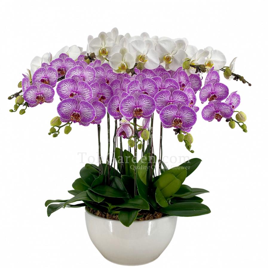 Pink Sogo Phalaenopsis in White Shallow Pot (10 in 1)