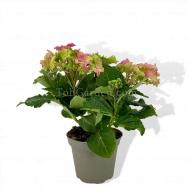 Hydrangea Sweet Pink