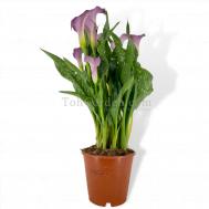 Zantedeschia Lilac Callalily