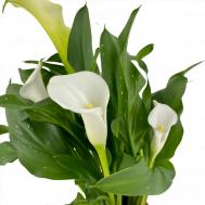 Zantedeschia White Callalily