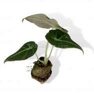 Alocasia Black Velvet (Baby)