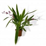Oncidium Katrin Zorch Variegated (4 spikes)