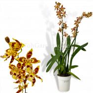 Odontoglossum Orchid (4 spikes)