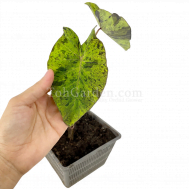 """Colocasia esculenta """"Mojito"""""""