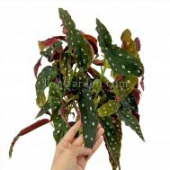 Begonia maculata (Large Pot)