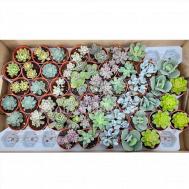 Succulent Mix / Single Plant per Pot