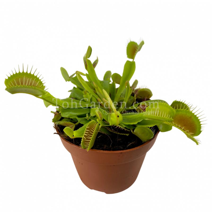 Venus Fly Trap Plant (Dionaea)(捕蠅草)