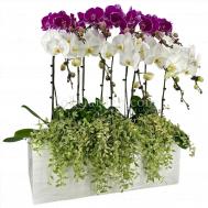 Phalaenopsis Boxio Arrangement (10 in 1)