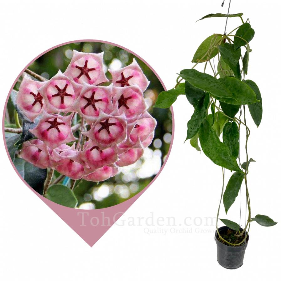 Hoya Archboldiana Pink
