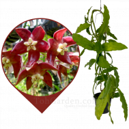 Hoya Imperialis Red