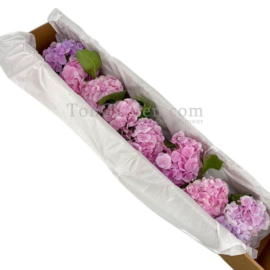Light Pink Korea Hydrangea