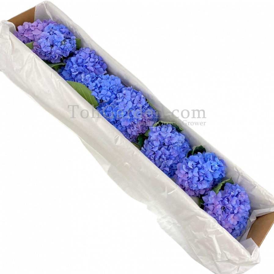blue Korea Hydrangea