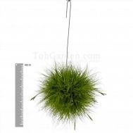 Tillandsia schiedeana Large Ball Clump