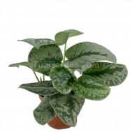 Scindapsus pictus / Silver Vine