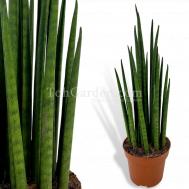 Sansevieria bacularis (mikado)